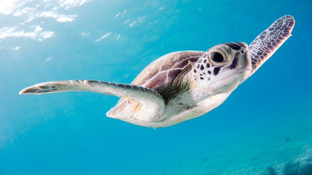 Turtle seen when scuba diving in the Riviera Maya
